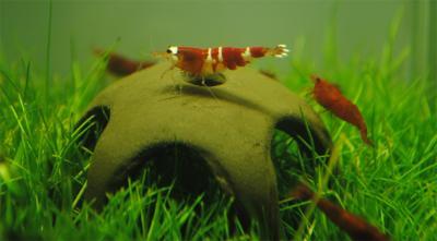 AQUA NOVA dekoracija žvaigždė krevetėms 50mm